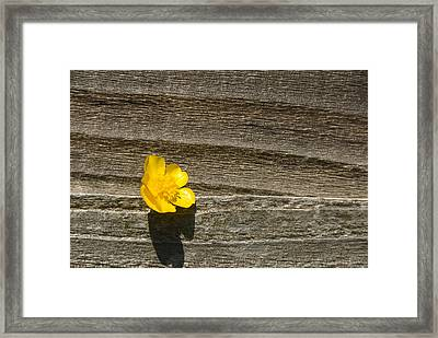 Buttercup And Wood Framed Print by Peter Jarvis