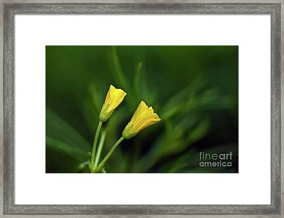 Buttercup Babies Framed Print by Lois Bryan