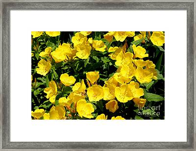 Buttercup Flowers Framed Print by Corey Ford