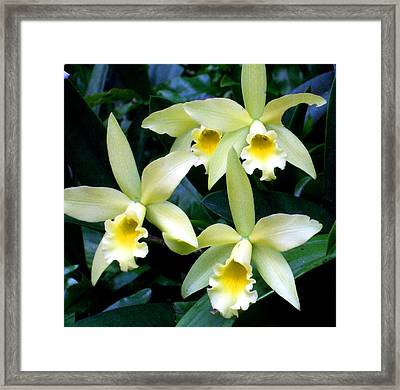 Buttercup Star Orchid Framed Print by Mindy Newman