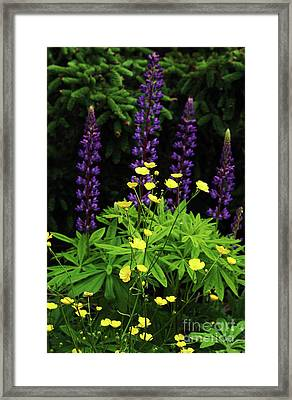 Buttercups And Lupine Framed Print by Georgia Sheron