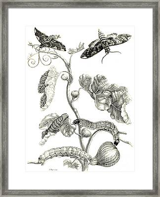 Butterflies, Caterpillars And Plant Framed Print
