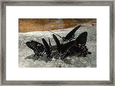 Butterflies Drinking Framed Print