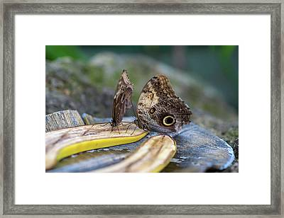 Framed Print featuring the photograph Butterflies Eating Bananas by Raphael Lopez