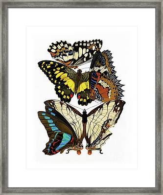 Butterflies, Lush Vintage Etomology Illustration Framed Print by Tina Lavoie