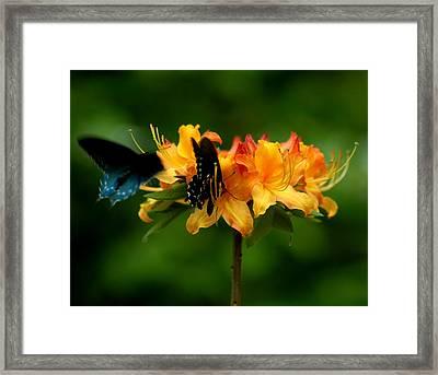 Butterflies On Yellow Azalea Framed Print by Bob Guthridge