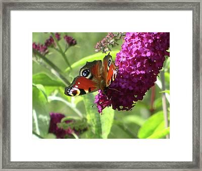 Peacock Butterfly  Framed Print