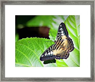 Butterfly 13a Framed Print