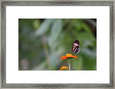 Butterfly 16 Framed Print