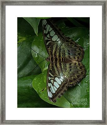 Butterfly 4 Framed Print