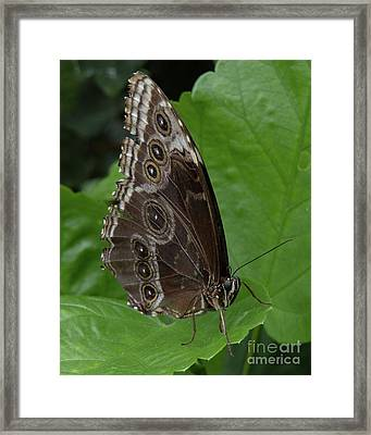 Butterfly 5 Framed Print