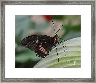 Butterfly 8 Framed Print