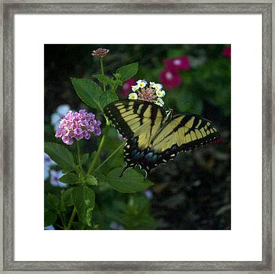Butterfly 8-4 Framed Print by Skip Willits