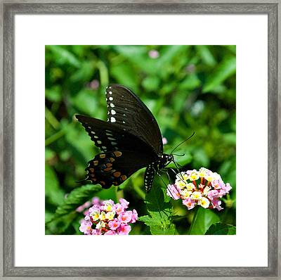 Butterfly 8-6 Framed Print by Skip Willits
