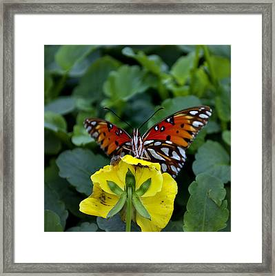 Butterfly 8 Framed Print by Skip Willits