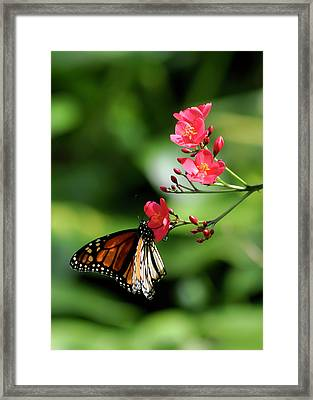 Butterfly And Blossom Framed Print