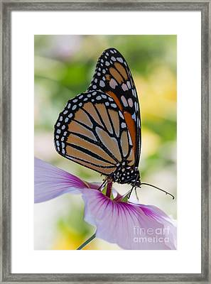 Butterfly And Hibiscus Framed Print