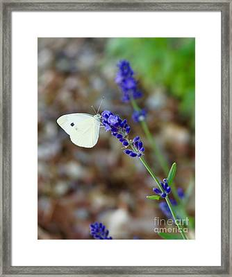 Butterfly And Lavender Framed Print