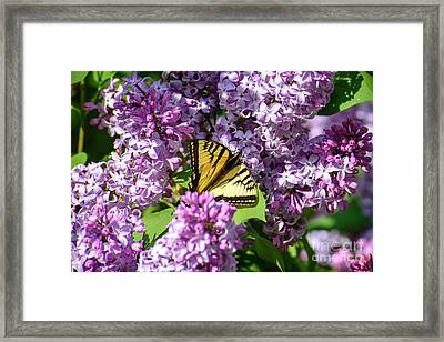 Butterfly And Lilacs Framed Print by Alana Ranney
