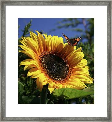 Butterfly And Sunflower Framed Print by Martina Fagan