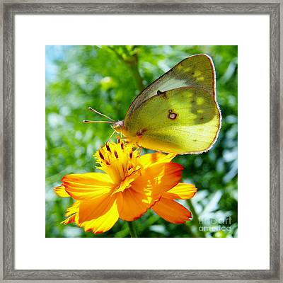 Butterfly And Yellow Cosmo Flower Framed Print
