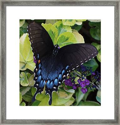 Framed Print featuring the photograph Butterfly Beauty Brown And Blue 2 by Kicking Bear  Productions