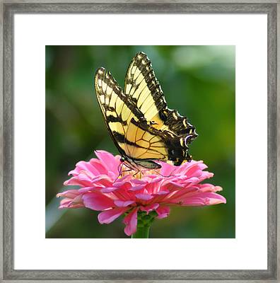 Butterfly Framed Print by Bill Cannon