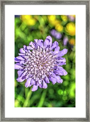 Butterfly Blue Pincushion Flower Framed Print by Royal Photography