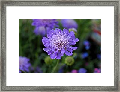 Butterfly Blue Pincushion Framed Print by Michiale Schneider