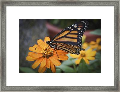 Butterfly Framed Print by Christina Durity