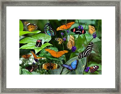Butterfly Collage Framed Print by Cabral Stock
