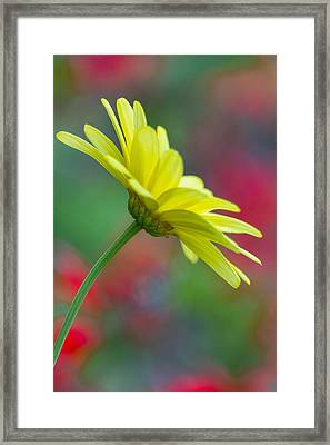 Butterfly Daisy Framed Print