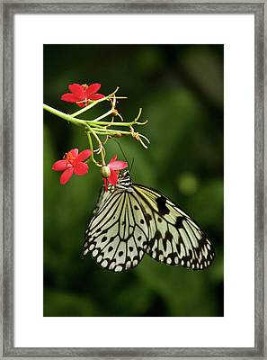 Butterfly Dream Framed Print