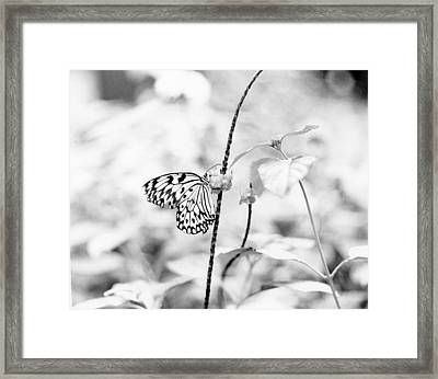 Butterfly Eatting  Framed Print