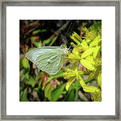 Butterfly Feasting On Yellow Flowers Framed Print