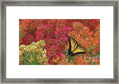 Butterfly Feeding Framed Print by Sabrina K Wheeler