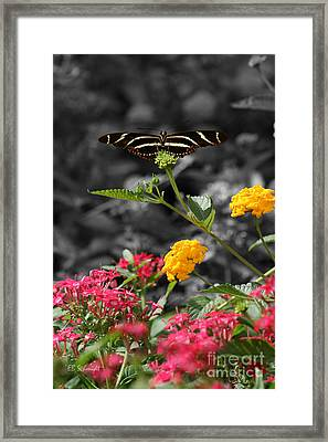 Framed Print featuring the photograph Butterfly Garden 05 - Zebra Heliconian by E B Schmidt
