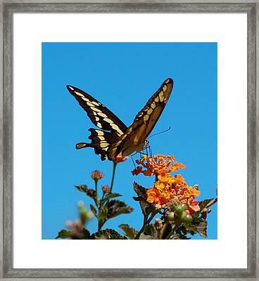 Butterfly II Framed Print by Susan Heller