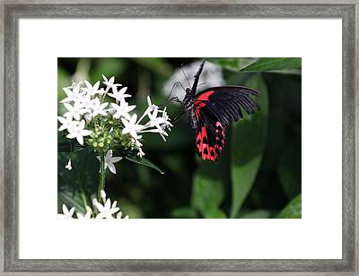 Butterfly IIi Framed Print by David Yunker