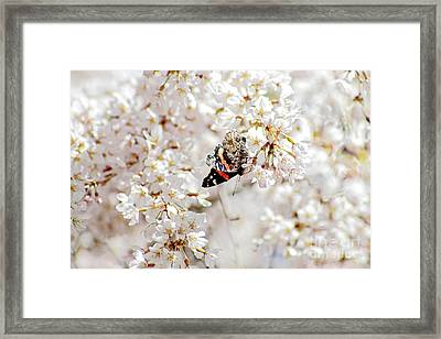 Butterfly In Cherry Blossom Framed Print by Charline Xia