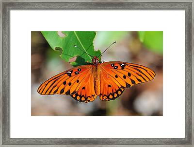 Butterfly In Feast Framed Print by Kicking Bear  Productions