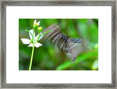 Butterfly In Motion Framed Print by Shawn  Miller