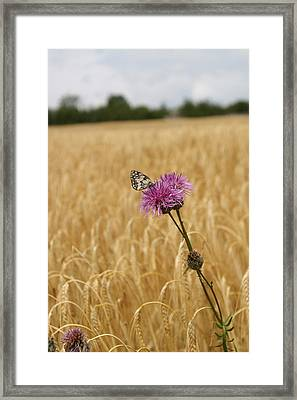 Butterfly In Wheat Field Framed Print by Jessica Rose