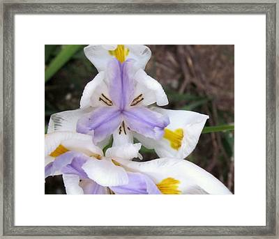 Butterfly Iris Framed Print by Miss McLean