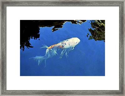 Butterfly Koi In Blue Sky Reflection Framed Print