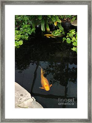 Butterfly Koi In Pond Framed Print by John Kaprielian