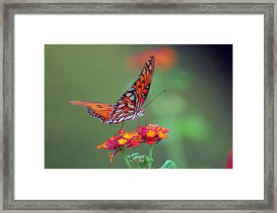 Butterfly Majestic Framed Print