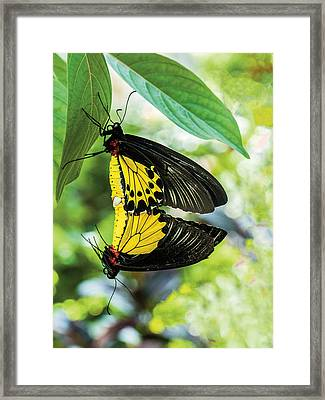 Butterfly Mating Framed Print