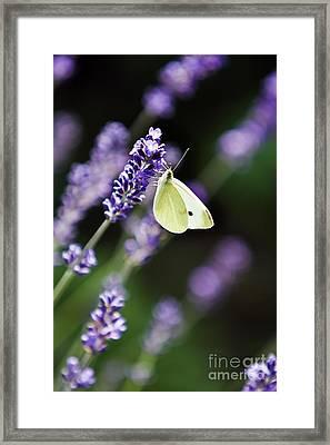 Butterfly On A Lavender Flower Framed Print by Dan Radi