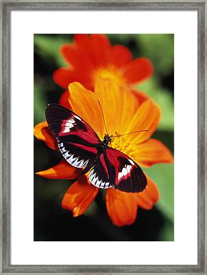 Butterfly On Flower Framed Print by Natural Selection Ralph Curtin